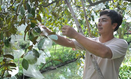 Vườn vú sữa sum sê trái của ông Lê Ngọc Bình, xã Phước Thạnh (TP. Mỹ Tho) nhờ bón phân hữu cơ kết hợp với một số kỹ thuật khác.