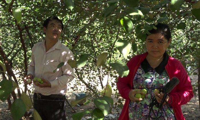 Mô hình vườn táo kết hợp mãng cầu Xiêm của anh Thắng đang cho hiệu quả kinh tế cao.