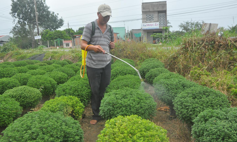 Người trồng hoa xã Tân Mỹ Chánh phun thuốc ngừa bệnh cho cúc mâm xôi.