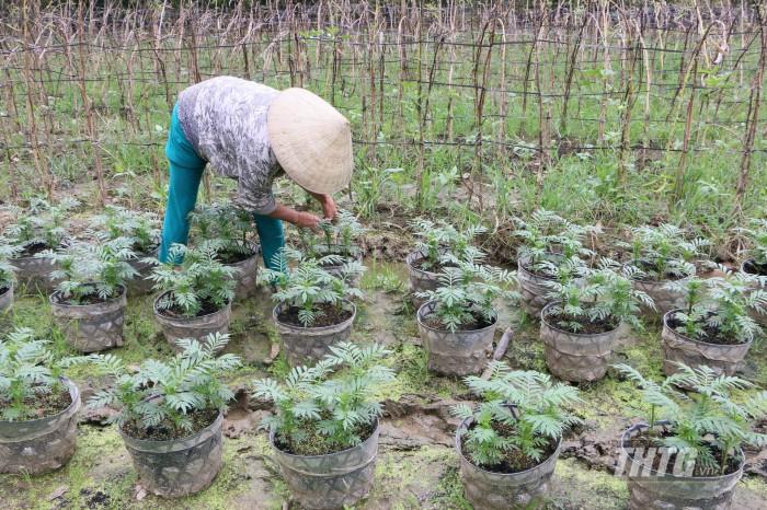 Nông dân chăm sóc hoa  vạn thọ ở làng hoa Mỹ Phong