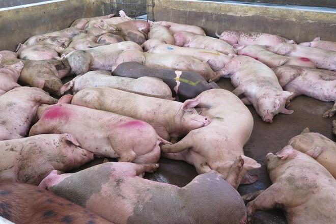 Tiền Giang: Tiêu hủy hàng trăm con lợn mắc bệnh lở mồm long móng