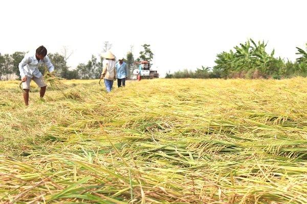 Nông dân sản xuất lúa không có lợi nhuận do giá lúa giảm mạnh, còn vật tư tăng cao. Trong ảnh là nông dân thu hoạch lúa. Ảnh: Trung Chánh