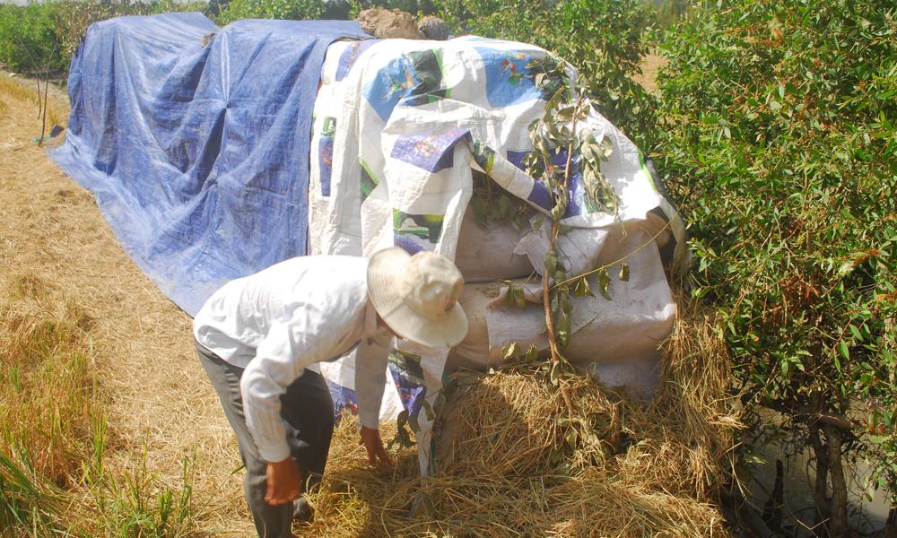 Ông Thi ở ấp Mỹ Trinh B, xã Hậu Mỹ Trinh (huyện Cái Bè) trồng 1,5 ha lúa. Thu hoạch lúa đã mấy ngày, thương lái vẫn chưa đến cân.