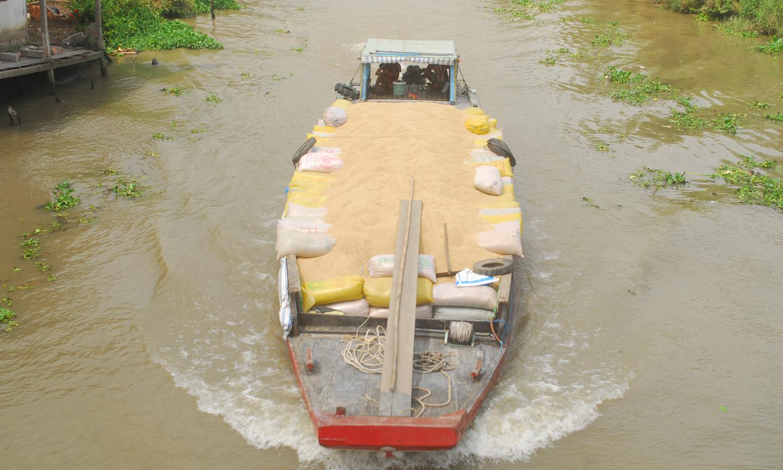 Một chiếc ghe của thương lái chở đầy ắp lúa vừa mua của nông dân.