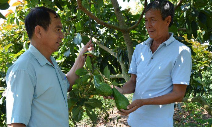 Ông Tư Trung (bên phải) và kỹ sư Nguyễn Xuân Hải trao đổi về giống bơ sáp da xanh HP.