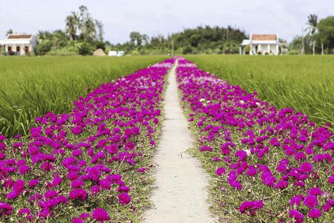 Con đường hoa mười giờ lãng mạn nhất Tiền Giang khiến cư dân mạng nước ngoài trầm trồ vì quá xinh đẹp