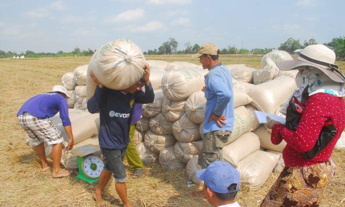 Tích cực tìm giải pháp tiêu thụ lúa cho nông dân