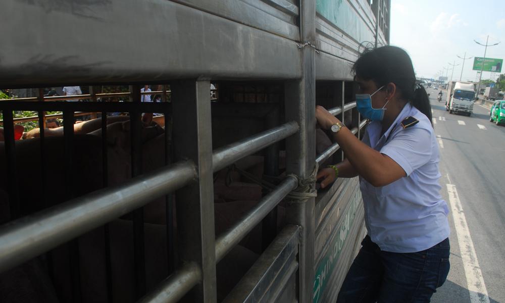 Cán bộ Chi cục Chăn nuôi và Thú y kiểm tra lâm sàn trên đàn heo.