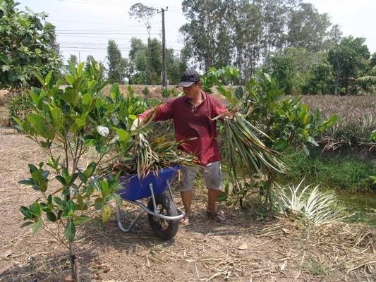 Tiêu dùng & Dư luận - Gần 2 triệu đồng/quả, nông dân Tiền Giang đổ xô trồng mít Thái (Hình 2).