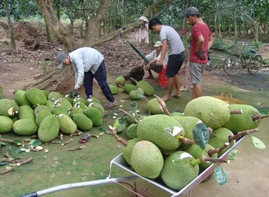 Tiêu dùng & Dư luận - Gần 2 triệu đồng/quả, nông dân Tiền Giang đổ xô trồng mít Thái