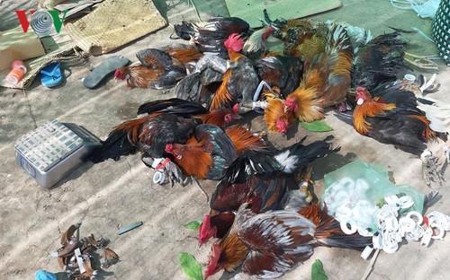 Tiền Giang: Nổ súng bắt giữ 31 đối tượng đá gà ăn tiền