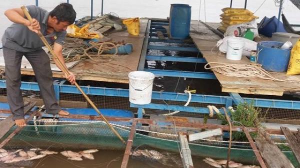 Người dân trên sông Tiền đang rất hoang mang vì cá ch-ết chưa rõ nguyên nhân