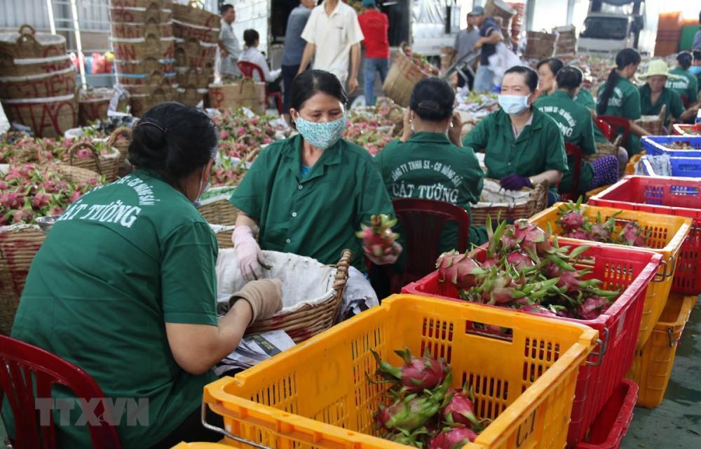 Sơ chế đóng gói thanh long xuất khẩu ở Công ty TNHH Chế biến nông sản thực phẩm Cát Tường. (Ảnh: Minh Trí/TTXVN)
