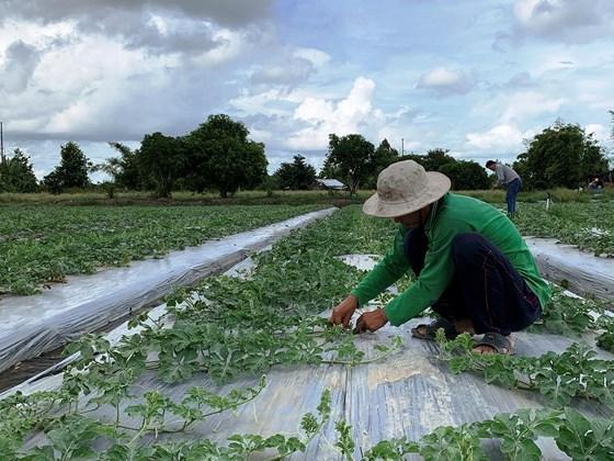 Nông dân Trần Việt Trương (Hậu Giang) đang sản xuất dưa hấu để lấy hạt giống