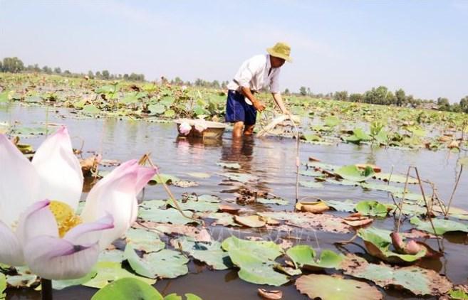 Người dân huyện Tân Phước, Tiền Giang thu hoạch ngó sen.