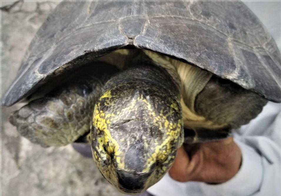 Ngoài có kích thước, trọng lượng lớn, con rùa lạ còn có màu vàng ở phần đầu và chân rất độc đáo.