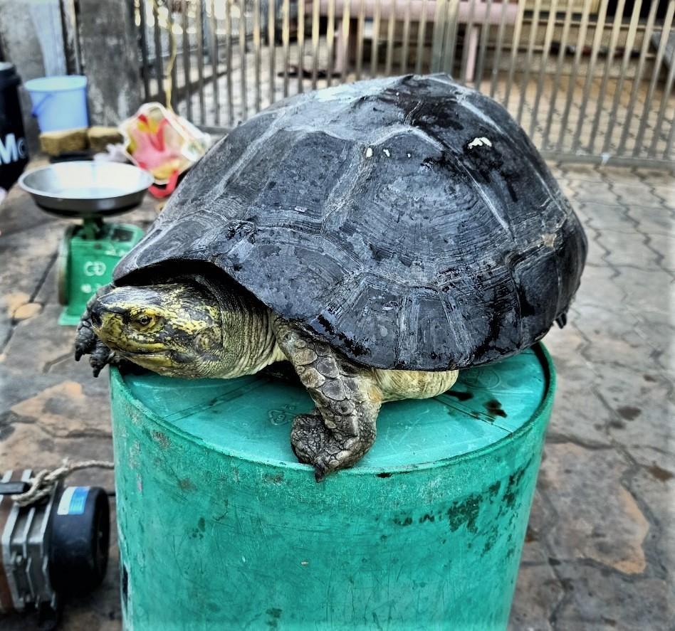 Hiện, ông Lượm vẫn đang nuôi con rùa lạ này tại nhà.